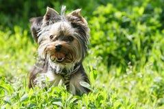Yorkshire terrier i gräset royaltyfri foto