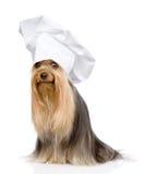 Yorkshire Terrier i kocks hatt som bort ser Isolerat på vit Arkivbilder