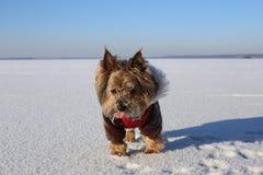 Yorkshire Terrier i ljus vinterkläder på is på en solig dag arkivfoton