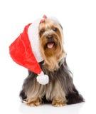 Yorkshire Terrier i röd juljultomtenhatt Isolerat på vit Royaltyfri Bild