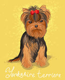 Yorkshire terrier. Illustration of yorkshire terrier. Pretty pet Royalty Free Stock Images