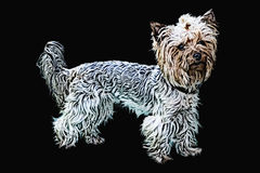 Yorkshire terrier. The illustration shows a yorkshire terrier in pastel colors, large strokes,  on a black background, which is in full growth on all paws Stock Photo