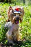 Yorkshire-Terrier im Gras Stockfoto