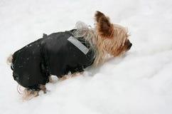 Yorkshire-Terrier im Schnee stockfotos