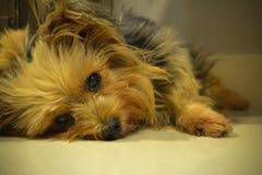 Yorkshire-Terrier im Studio lizenzfreie stockfotos