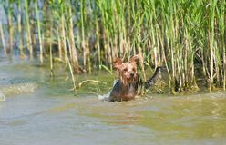 Yorkshire Terrier In Ambush Royalty Free Stock Images