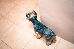 Yorkshire Terrier indoors Fotografia Stock