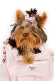 Yorkshire terrier inside the bag Stock Photo