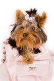Yorkshire Terrier Inside The Bag Stock Photo