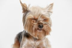 Yorkshire terrier isolated om white background Stock Photos