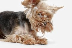 Yorkshire terrier isolated om white background Royalty Free Stock Photo