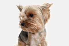 Yorkshire terrier isolated om white background Royalty Free Stock Images