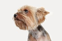 Yorkshire terrier isolated om white background Stock Photography