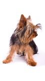 Yorkshire Terrier isolated on a white background. Royalty Free Stock Image