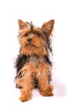 Yorkshire Terrier isolated on a white background. Stock Image