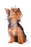 Yorkshire Terrier isolated on a white background. Royalty Free Stock Photo