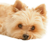 Yorkshire terrier isolated on white Stock Image