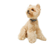 Yorkshire terrier isolated on white background royalty free stock image