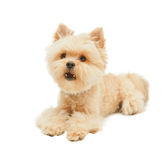 Yorkshire terrier isolated on white background Royalty Free Stock Photo