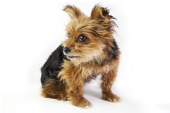 Yorkshire terrier isolated Stock Images