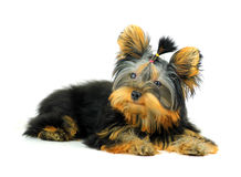 Yorkshire terrier isolated on white background. Cute Yorkshire Terrier honest. Isolated on white background Stock Photos