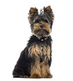 Yorkshire Terrier isolated on white Royalty Free Stock Photo