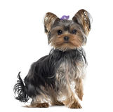 Yorkshire Terrier isolated on white Stock Photos