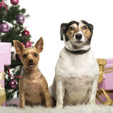 Yorkshire Terrier and Jack Russell Terrier sitting in front of Christmas decorations Stock Photo