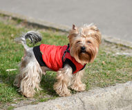 Yorkshire terrier Jake Arkivbild