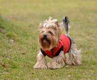 Yorkshire terrier Jake Imagens de Stock
