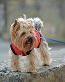Yorkshire terrier Jake Imagem de Stock