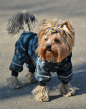 Yorkshire terrier Jake Royaltyfri Bild