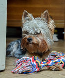 Yorkshire terrier Jake. Yorkshire Terrier Jake home on vacation playing with a bone Royalty Free Stock Image