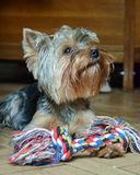 Yorkshire terrier Jake. Yorkshire Terrier Jake home on vacation playing with a bone Royalty Free Stock Images