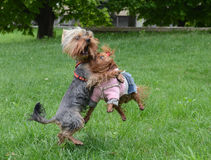 Yorkshire terrier Jake. Yorkshire terrier Jake plays with girlfriend Stock Photography