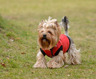Yorkshire terrier Jake. Yorkshire terrier Jake for a walk in a new dress Stock Images