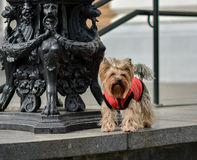 Yorkshire terrier Jake. Royalty Free Stock Photos
