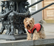 Yorkshire terrier Jake. Yorkshire terrier Jake for a walk in a new dress Royalty Free Stock Photos