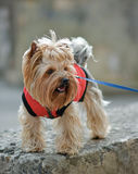 Yorkshire terrier Jake. Yorkshire terrier Jake for a walk in a new dress Stock Image