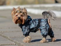 Yorkshire terrier Jake. Yorkshire terrier Jake for a walk in a new dress Stock Photos