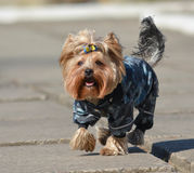 Yorkshire terrier Jake. Yorkshire terrier Jake for a walk in a new dress Royalty Free Stock Photo