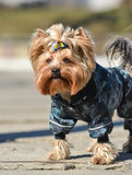 Yorkshire terrier Jake. Yorkshire terrier Jake for a walk in a new dress Royalty Free Stock Image