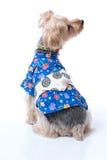 Yorkshire Terrier in Japanese Yukata Stock Photos