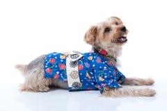 Yorkshire Terrier in Japanese Yukata Royalty Free Stock Photo