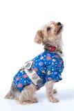 Yorkshire Terrier in Japanese Yukata Stock Photography