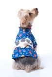 Yorkshire Terrier in Japanese Yukata Royalty Free Stock Photos