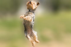 Yorkshire terrier jumping and flying with it's tongue out. Royalty Free Stock Image