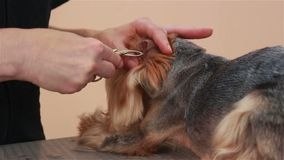 Yorkshire Terrier kuragehår i öronen stock video
