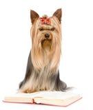 Yorkshire Terrier läst bok bakgrund isolerad white Royaltyfri Bild