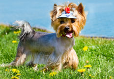Yorkshire Terrier on a lawn alongside a lake. Stock Photos